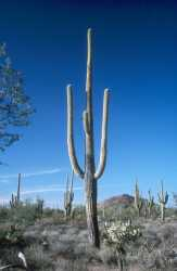 Saguaro in the Saguaro National Park near Tucson
